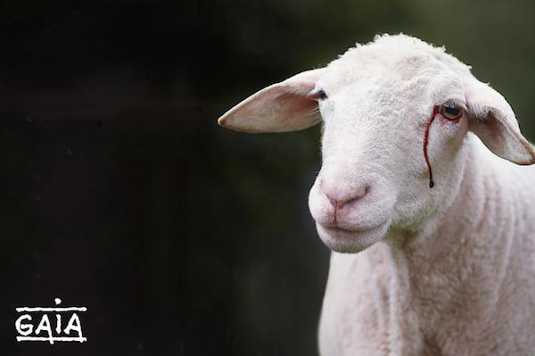 schaap_met_bloedtraan_-_mouton_avec_larme_de_sang_2.png